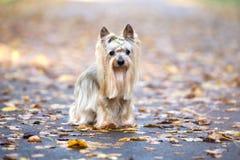 Hund för Yorkshire terrier som poserar i höst Royaltyfri Foto