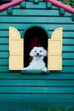 hund förlägga i barack maltese royaltyfria foton