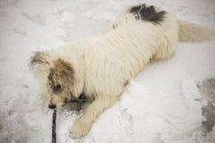 Hund f?r einen Weg Ein Hund mit einem weißen Mantel stockfoto