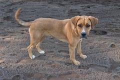 Hund Fawn Portrait Arkivbild