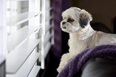 Hund am Fenster lizenzfreie stockfotografie