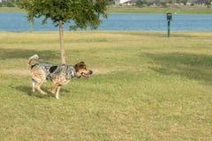 Hund fing ausgeglichenes auf einem Bein, das durch den Park läuft Lizenzfreie Stockfotos