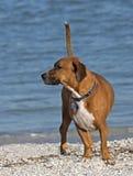 Hund för boxareBasset Hound blandad avel Arkivfoto