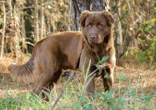 Hund för chokladlabradorPyrenees blandning Arkivfoton