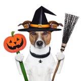 Hund för Halloween pumpahäxa Royaltyfria Foton