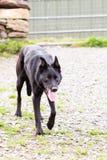 Hund för svarta får Royaltyfria Bilder