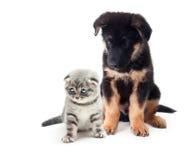 Hund för tysk herde för valp och en katt. Royaltyfri Bild