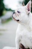 Hund, französische Bulldogge Stockfoto