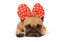 Hund französischer Bulldogge Browns mit enormem rotem Band auf dem Kopf, der auf Boden vor weißem Hintergrund liegt lizenzfreies stockfoto