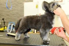 Hund- frisör i en skönhetklinik med hunden Fotografering för Bildbyråer