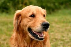 Hund geöffneter Mund Stockfotografie