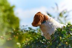 Hund gehockt auf einer Hecke, die heraus schaut Lizenzfreies Stockfoto