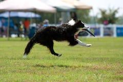 Hund geht Airborn, zum von Frisbee im Mund abzufangen Stockfotografie