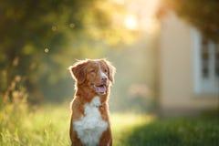 Hund geht auf Natur, Grüns, Blumen Nova Scotia Duck Tolling Retriever lizenzfreie stockbilder