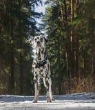 Hund geht in einen Winterwald Stockbild