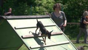 Hund geht unten von der Spitze eines Beweglichkeitsc$ein-rahmens stock footage