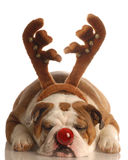 Hund gekleidet als Rudolph Stockbilder