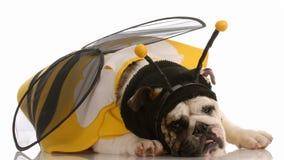 Hund gekleidet herauf als Biene Stockfotografie