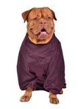 Hund gekleidet mit dem Weinrotregenmantel getrennt Stockfoto