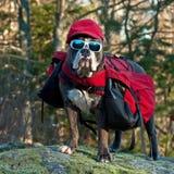 Hund gekleidet mit Tasche und Sonnenbrille Stockfotografie