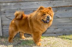 Hund, gelber Chow-Chow, im Gestell lizenzfreies stockbild