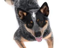 Hund glücklich Stockbild