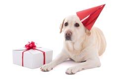 Hund (golden retriever) im Geburtstagshut mit dem Geschenk lokalisiert auf whi Stockfoto