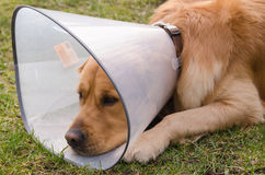 Hund (golden retriever) som använder trattkragen Royaltyfria Foton