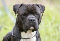 Hund gro?er schwarzer Cane Corso- und Pitbull-Terrier Mischung lizenzfreie stockfotografie