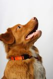 hund guld- labrador Royaltyfria Foton