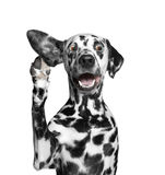 Hund hört aufmerksam auf seinen Eigentümer Stockfoto