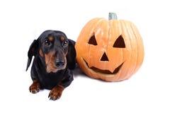 hund halloween Royaltyfri Bild