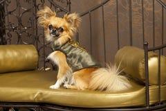 Hund Harry-Chihuauhua in Kleidung Lizenzfreies Stockbild
