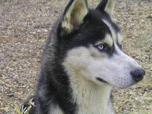 Hund hasky Stockfotografie