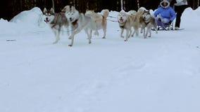 Hund-Hasky-Trabrennen stock video