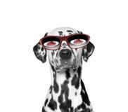 Hund hat sehr Hunger Lebensmittel reflektiert in seinen Gläsern Stockbild