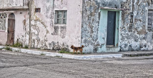 Hund in Havana stockbilder