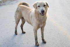 Hund hellbraun Lizenzfreie Stockfotos