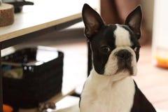 Hund hemma arkivfoto