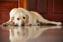Hund hemma Fotografering för Bildbyråer