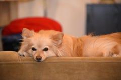 Hund hemma Royaltyfri Bild