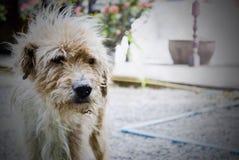 hund hund, hörntand Royaltyfri Bild
