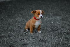 Hund husdjur, djur, valp, terrier som är gullig, stålarrussell terrier, beagle, hörntand, gräs, vit, brunt, stålar, russell, stål Royaltyfria Bilder