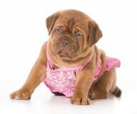 Hund i bikini Royaltyfria Bilder