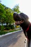 Hund i bilfönstret Fotografering för Bildbyråer