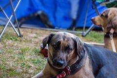 Hund i campa royaltyfri bild