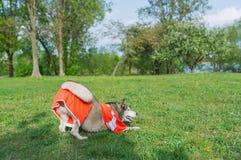Hund i den röda dräkten som spelar med en boll utomhus arkivfoto