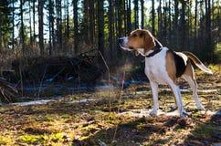 Hund i den skogstaget och väntan field treen Royaltyfri Fotografi