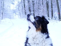 Hund i den Winterly skogen royaltyfria bilder