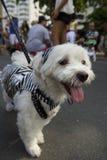 Hund i dräkten Rio Blocao Animal Carnival Royaltyfri Fotografi